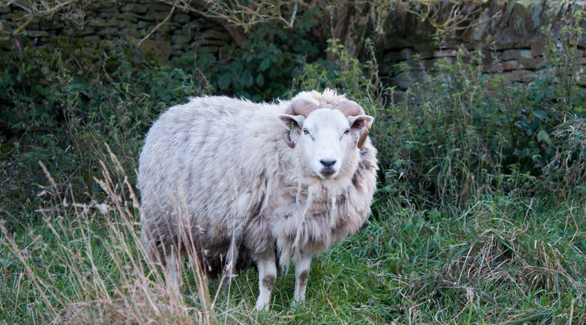 sheep at Haworth Parsonage in Yorkshire